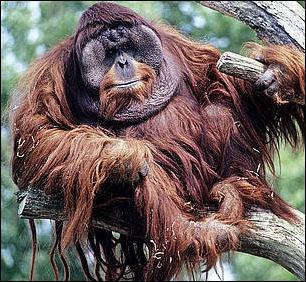 orangutan penis size