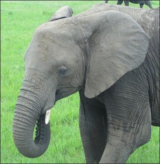Elephants Their History Numbers Age Tusks Trunk And Walk Like