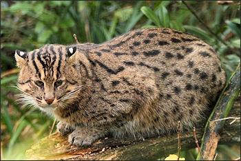 Geous Asian Leopard Cat