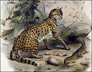 The P Bengalensis Euptilura Subspecies Are Often More Than Twice As Large Many Southern Asian With A Dense Coat Heavy Bone And Muscling