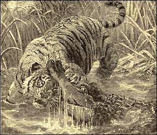 Saltwater crocodile attacks tiger - photo#16