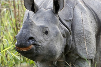 ASIAN RHINOCEROS: THEIR HISTORY, CHARACTERISTICS AND FEEDING ...
