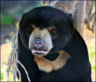 5383017349034 bear species in asia sun bears and moon bears facts and details