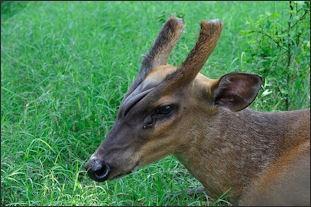 deer/antelope jpeg Asian