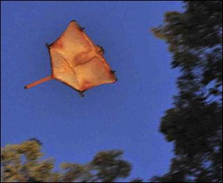 Image result for flying lemurs size