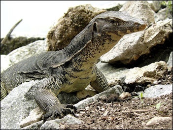 MONITOR LIZARDS AND REPTILES   Facts and Details