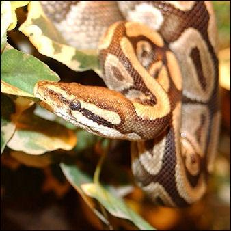 Burmese python facial pit think