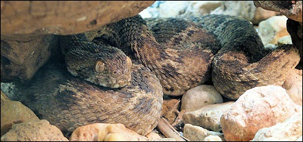 VENOMOUS SNAKES IN ASIA: KRAITS, RUSSELL'S VIPER AND THE SAW
