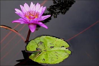 Flowers Lotus Plants And Pitcher Plants In Asia Facts And Details