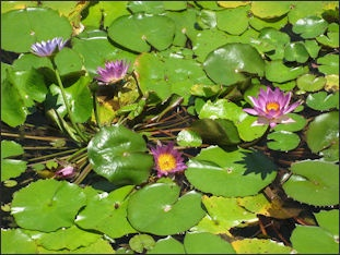 Flowers lotus plants and pitcher plants in asia facts and details the sacred lotus is a large bloom on a long thick thorny and fibrous stalk the buds are like elongated bulbs that narrow at the tip mightylinksfo