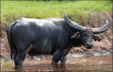 WATER BUFFALOS | Facts and Details