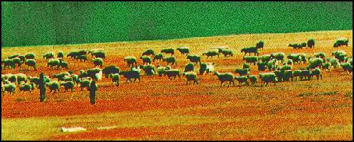 20080301-herd of sheep.jpg