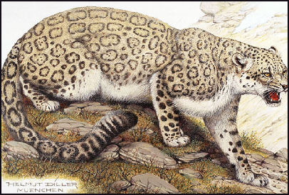 Although Fierce Hunters A Mythic Beast As Peter Matthiessen Put It Snow Leopards Are The Size Of German Shepherds Images Cats In Wild
