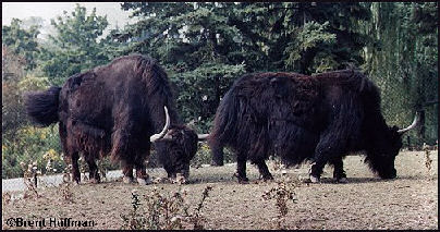 Yaks are most comfortable above 14,000 feet.  They climb to elevation of...