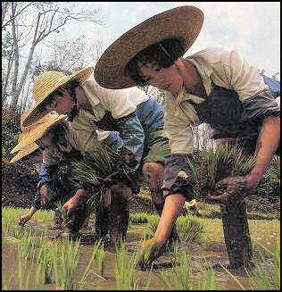 http://factsanddetails.com/media/2/20080316-agri-rice-planting%20nolls.jpg