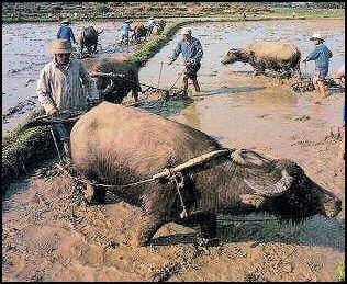 http://factsanddetails.com/media/2/20080316-agri-rice-plow%20Nolls.jpg