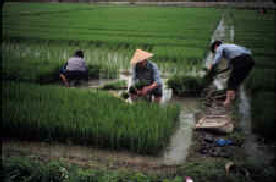 20080316-bundling_transplants_small agroecology.jpg