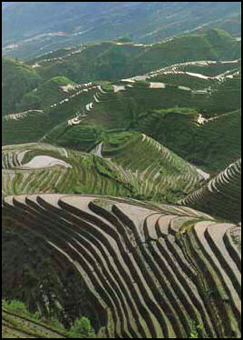 Rice Agriculture In China Facts And Details