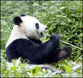 20080318-pandaWWf2.jpg