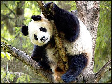 Pandas Eating People