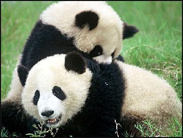 20080318-pandaWWf5.jpg