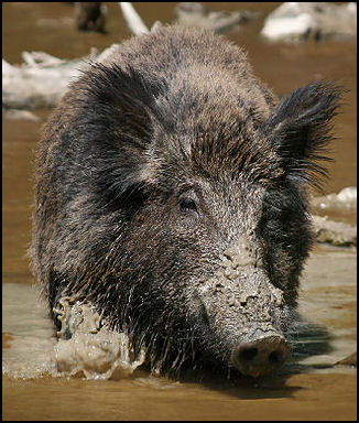 WILD BOARS | Facts and Details