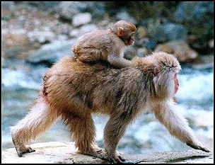SNOW MONKEYS (JAPANESE MACAQUE) | Facts and Details