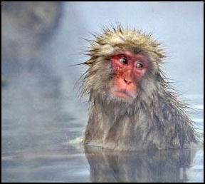 SNOW MONKEYS JAPANESE MACAQUE Facts And Details - Monkey knows how to operate vending machine
