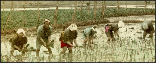 Agriculture Rice Planting Planting Rice in 19th Century
