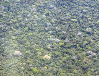 20110306-flowering canopy mongabay Flight_1022_1622.JPG