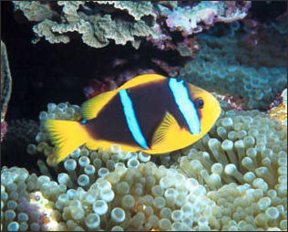 20110307-NOAA  reef fish clownfish_100.jpg