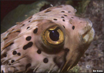 BLOWFISH, PUFFER FISH, BALLOON FISH, FUGU AND BOXFISH ...