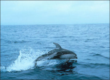 20110307-NOAA dolphin Pacific white-sided dolphin_100.jpg