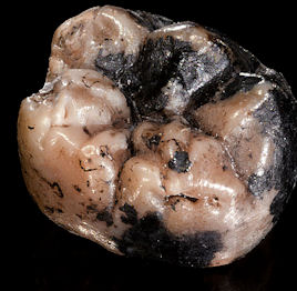 20120202-Hobo Habilis tooth.jpg