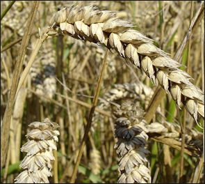 20120207-Wheat_close-up.JPG