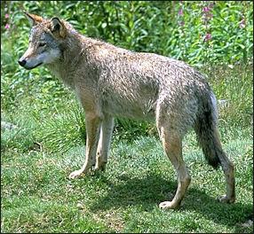 20120207-WolfInNumedal.jpg