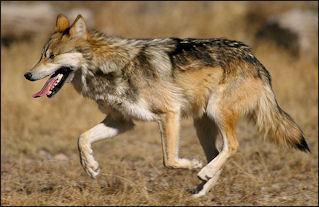 20120207-wolf.jpg