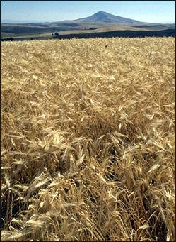 20120208-Barley.jpg