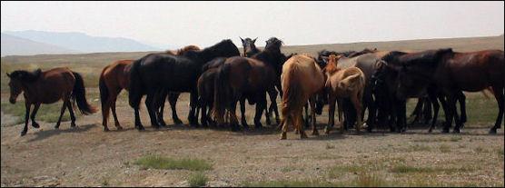 20120210-Mong_Horse_Herd.JPG.jpg