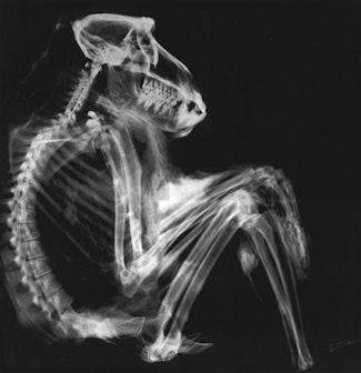 20120215-X-Ray_Scan_van_een_baviaan.jpg