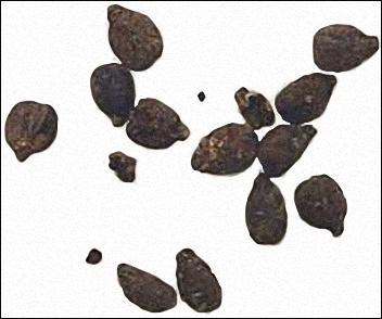 20120228-Ancientgrain.png