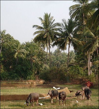 20120515-Farming_area_in_Morjim_Goa.JPG