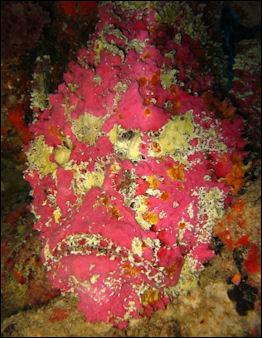 20120517-464px-Synanceia_verrucosa.jpg
