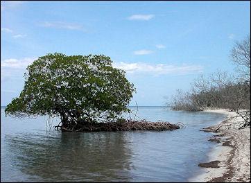 20120517-800px-Mangrove_auf_Cayo_Levisa_Kuba_2.jpg