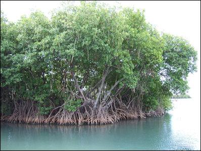 20120517-800px-Mangroves_in_Puerto_Rico.jpg