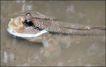 20120517-800px-Periophthalmus_Schlammspringer_Sam_Roi_Yot_Thailand_02.jpg