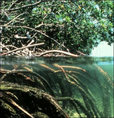 20120517-Mangroves.jpg