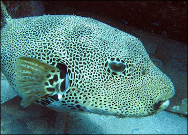 BLOWFISH, PUFFER FISH, BALLOON FISH, FUGU AND BOXFISH Facts and ...