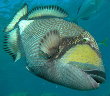 Parrotfish Triggerfish And Other Coral Eating Reef Fish