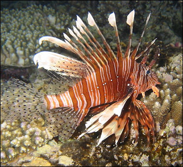 20120517-lion fish Red_sea-reef_3408.jpg